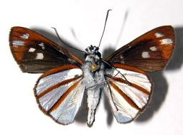 Image of <i>Vettius conka</i> Evans 1955