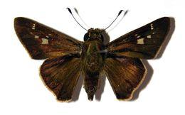 Image of Nyctelius