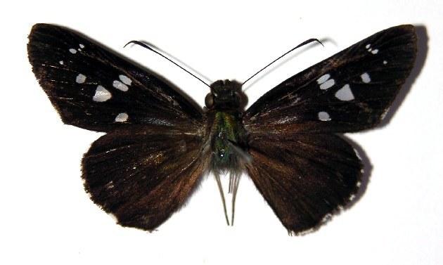 Image of Carystina