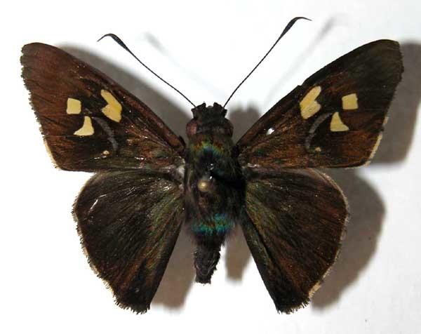 Image of <i>Perichares prestoeaphaga</i> Burns