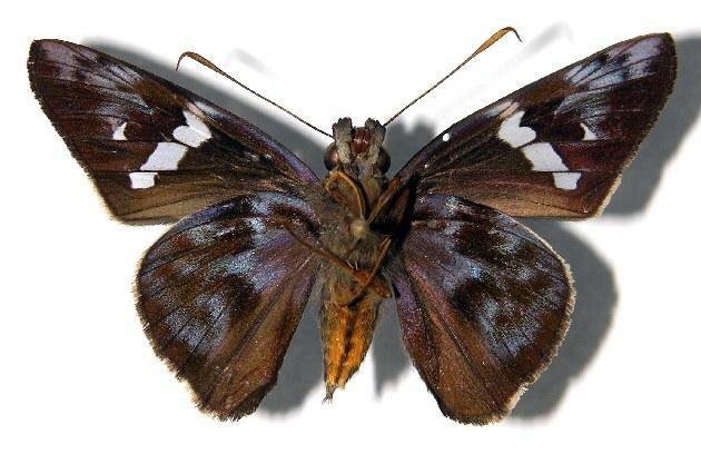 Image of <i>Perichares lotus</i> Butler 1870
