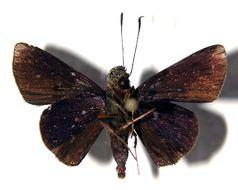 Image of Mnasitheus