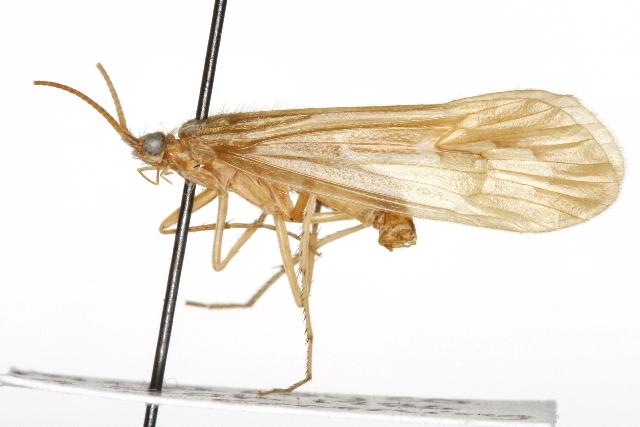 Image of <i>Hesperophylax consimilis</i> (Banks 1900)