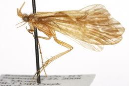 Image of <i>Neophylax consimilis</i> Betten 1934