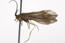 Image of <i>Agarodes</i> (<i>Psiloneura</i>) <i>distinctus</i> (Ulmer 1905)