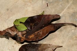 Image of Euonychophora