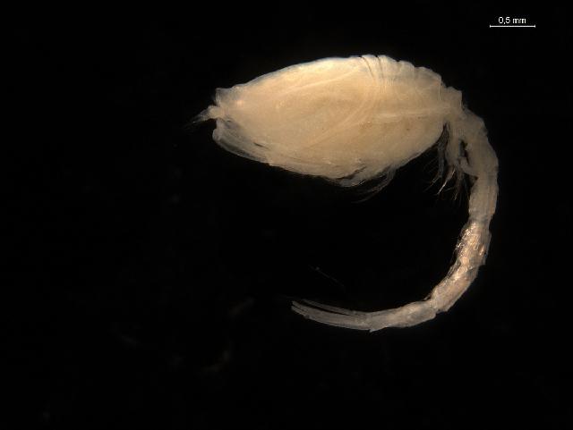 Image of Pseudocumatidae
