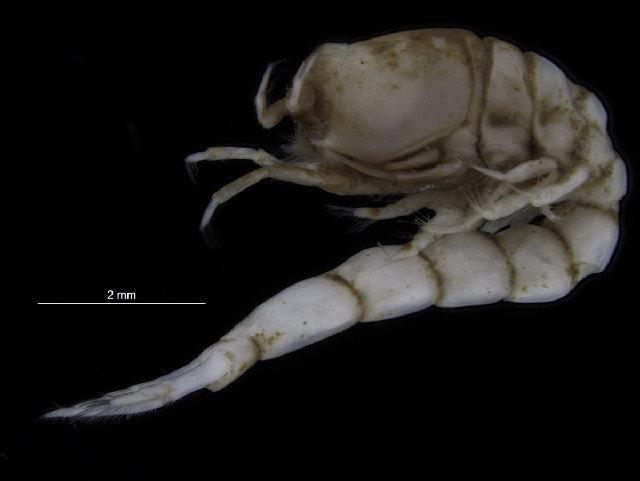 Image of Leuconidae