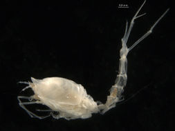 Image of Diastyloides
