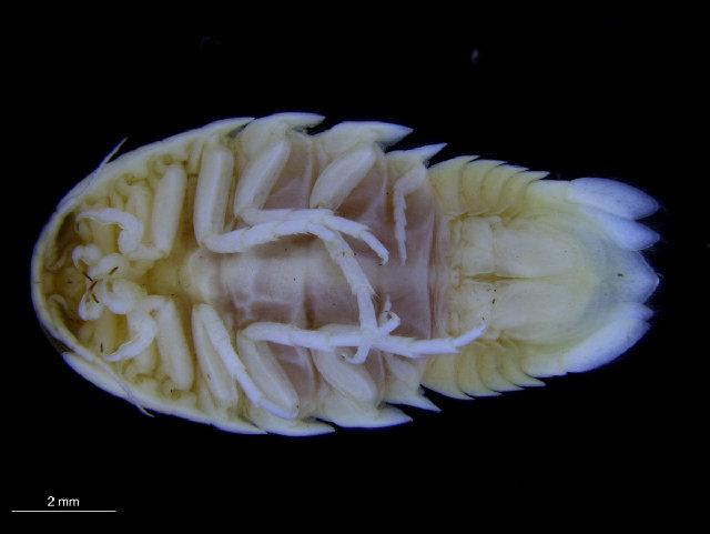 Image of Aega