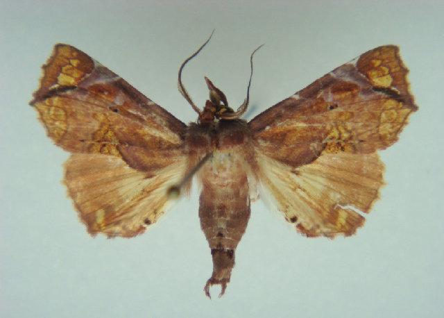 Image of Eutelia