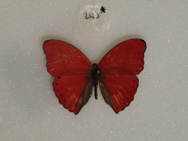 Image of <i>Cymothoe reginaeelisabethae</i>