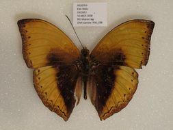 Image of <i>Cymothoe hypatha okomu</i> Hecq & Larsen 1997