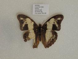 Image of <i>Cymothoe indamora</i> Hewitson 1866