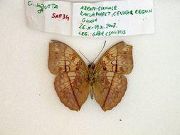 Image of <i>Cymothoe <i>jodutta</i></i> ssp. jodutta