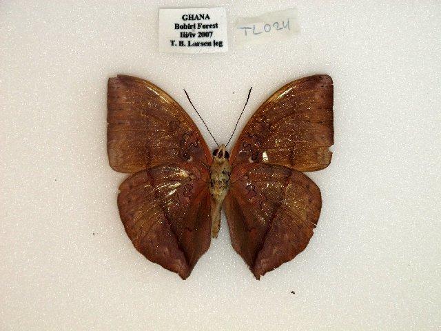 Image of <i>Cymothoe <i>lurida</i></i> ssp. lurida