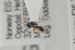 Image of Anacharitinae