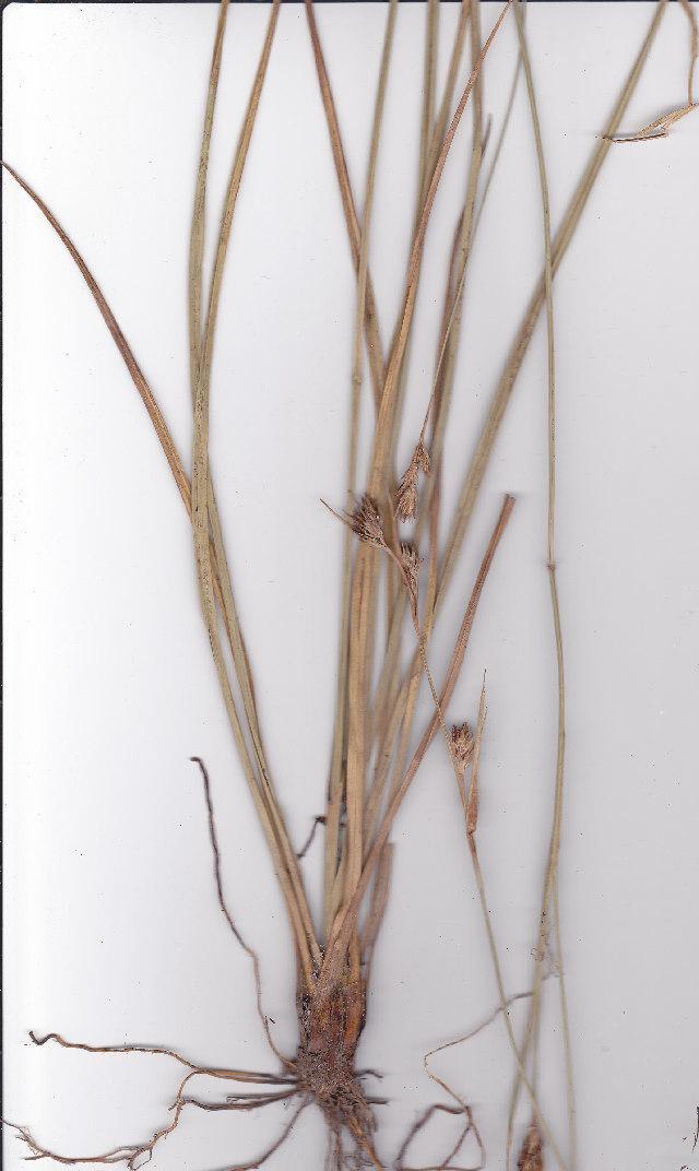 Image of Carpha