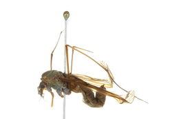 Image of <i>Angarotipula tumidicornis</i> (Lundstrom 1907)