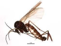 Image of <i>Sciophila exserta</i> Zaitzev 1982