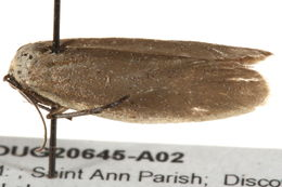 Image of false burnet moths