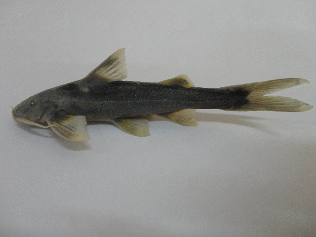 Image of Glyptothorax
