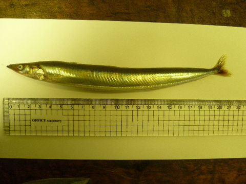 Image of Pacific sand lance