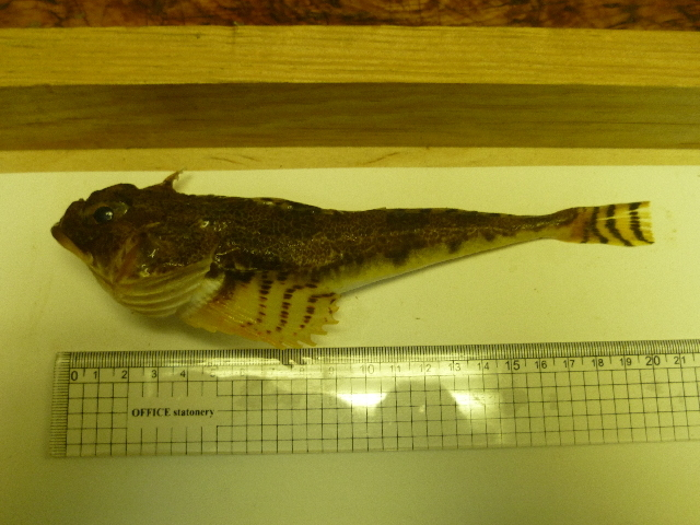 Image of Gymnocanthus