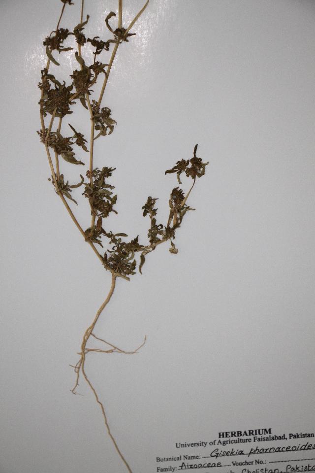 Image of Gisekiaceae