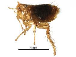 Image of vermipsyllid fleas