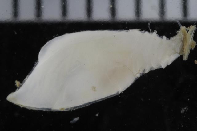 Image of Scalpellum