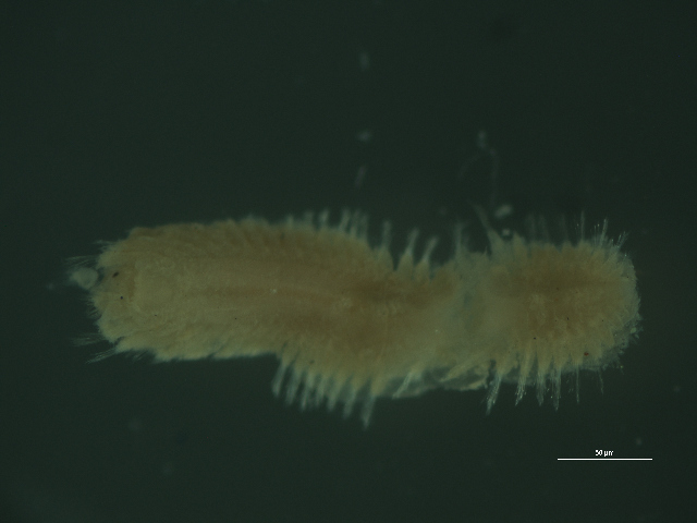 Image of Pholoides