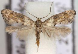 Image of Epermeniinae