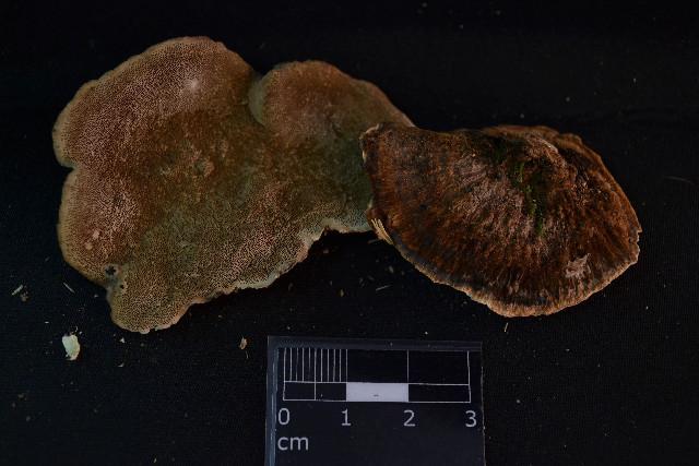 Image of Coriolopsis