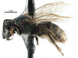Image of <i>Lasioglossum albipenne</i> (Robertson 1890)