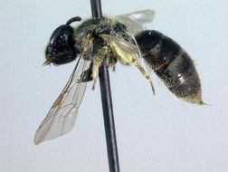 Image of <i>Lasioglossum smilacinae</i>