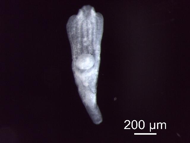 Image of <i>Tylodelphys mashonensis</i>