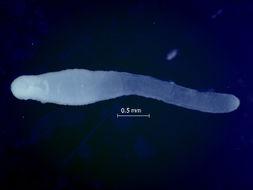 Image of Diphyllobothriidae