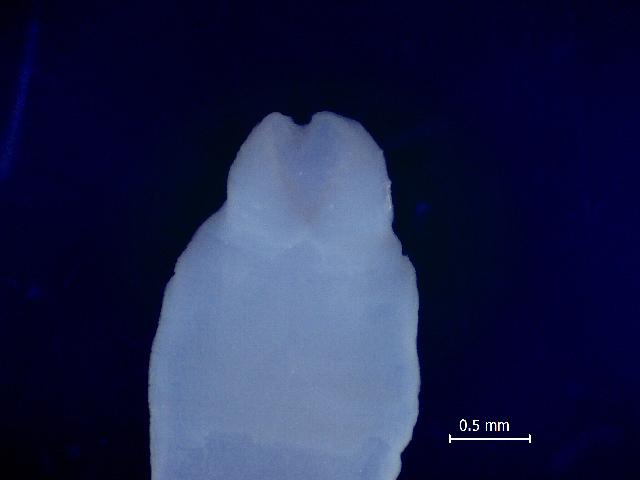 Image of Adenocephalus