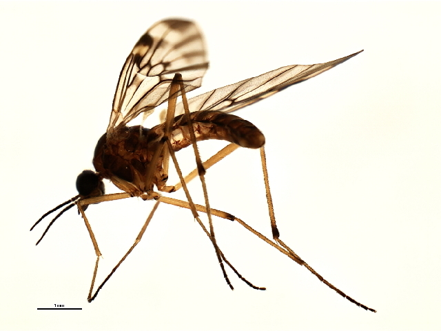 Image of wood gnats