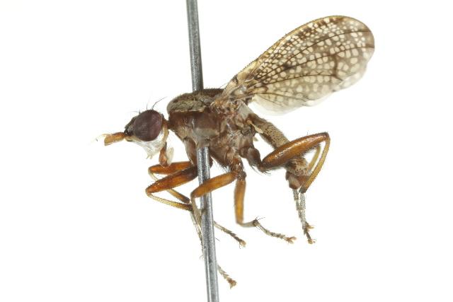 Image of Euthycera