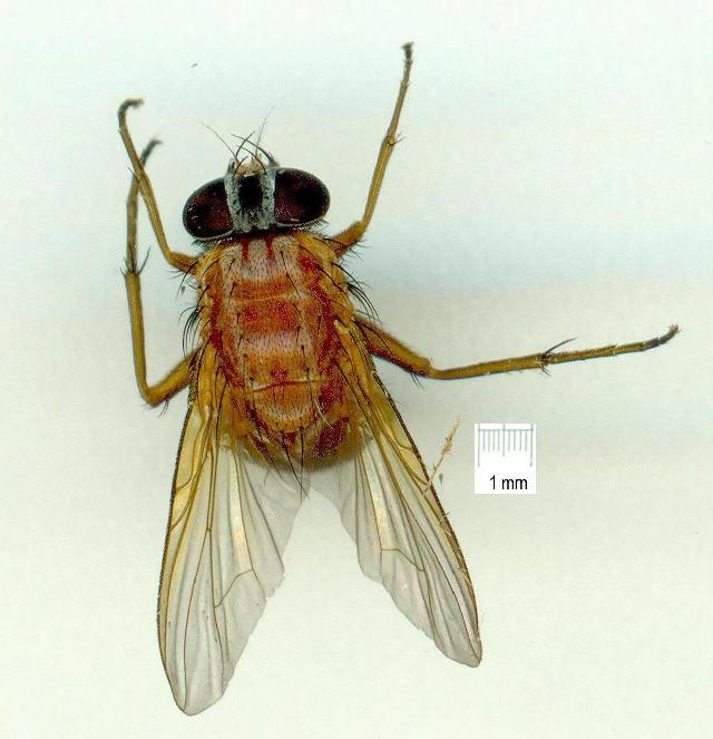 Image of Dichaetomyia