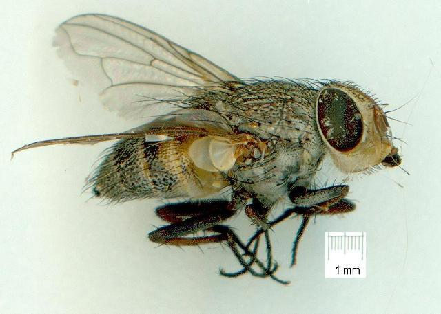 Image of Rhiniidae