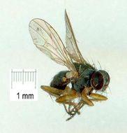 Image of <i>Coenosia acuticornis</i> Stein 1910