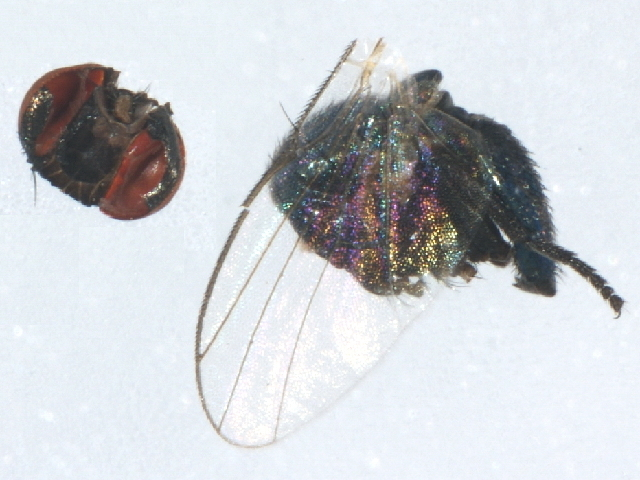 Image of <i>Melanagromyza metallica</i> (Thomson 1869)