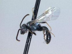 Image of Sweat bee