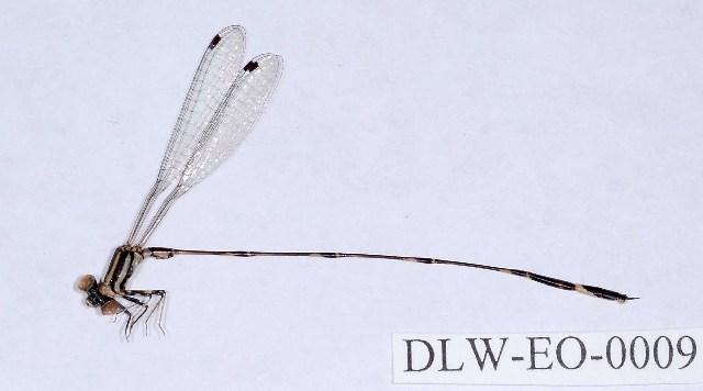 Image of Perilestidae
