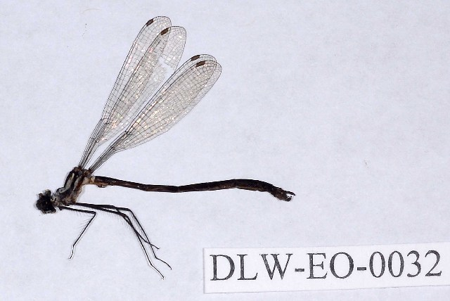 Image of Teinopodagrion De Marmels 2001