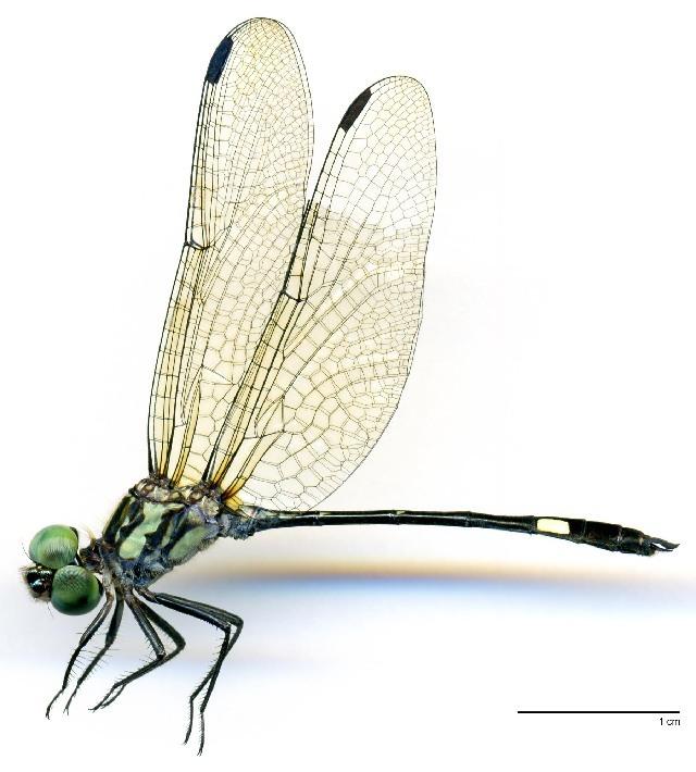 Image of <i>Micrathyria ocellata</i> Martin 1897