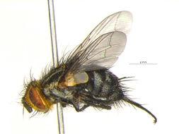 Image of <i>Exorista sorbillans</i> (Wiedemann 1830)